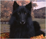 The Belgian Sheepdog Breed
