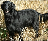 The Flat-Coated Retriever Dog Breed