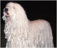 The Komondor Dog Breed