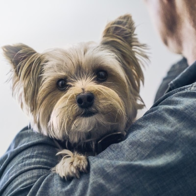 Yorkshire terrier looks over the shoulder of his owner.
